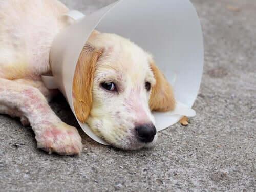Canine Demodikose: Symptome und Behandlung