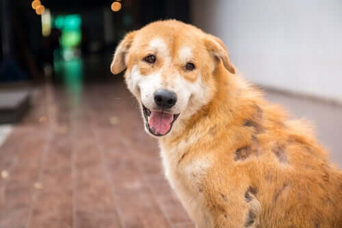 Canine Demodikose: Symptome