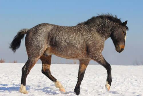 Curly Horse, das gelockte Pferd