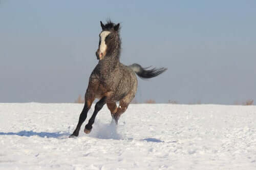 Curly Horse im Schnee
