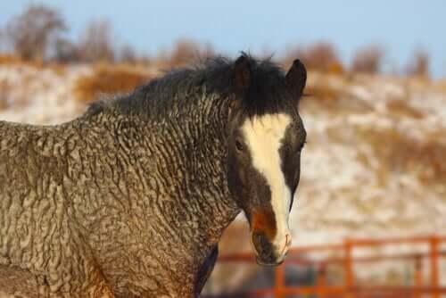 Curly Horse, das gelockte Pferd: mysteriös und hypoallergen