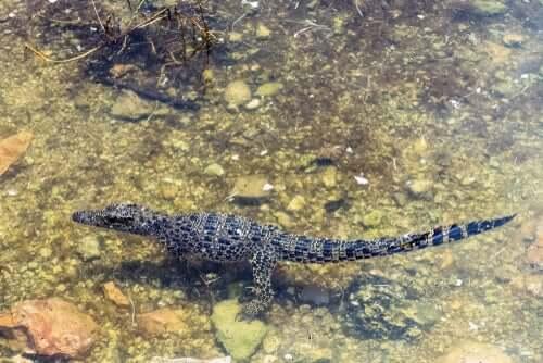Das kubanische Krokodil ist ein weiteres Beispiel für insulares Riesen- und Zwergwachstum im Tierreich