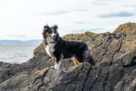 Der Shetland Sheepdog ist aus Schottland