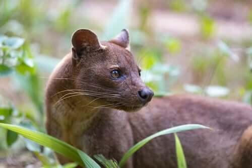 Die Fossa, das eigenartigste Raubtier Madagaskars