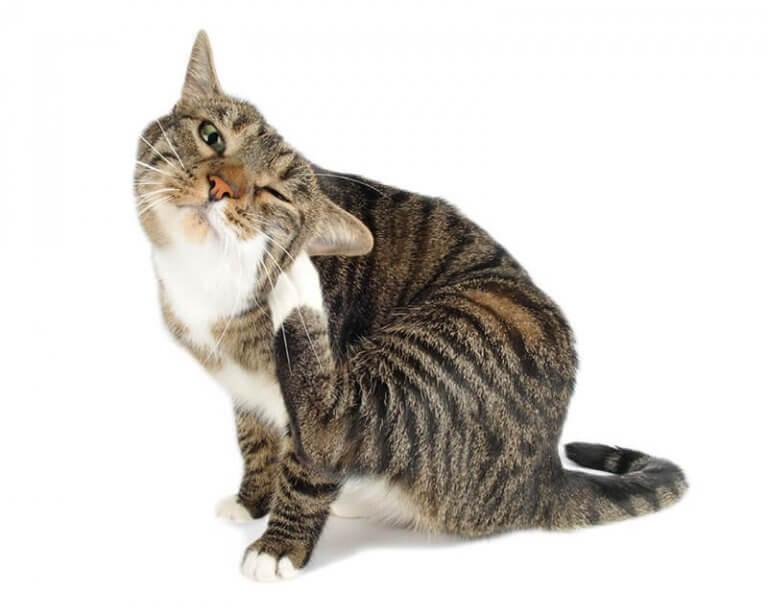 Flöhe bei Katzen vermeiden? So geht´s!