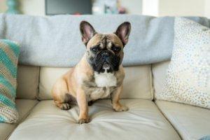 Französische Bulldogge - kleine Hunderassen