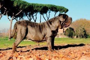 Der Napolitanische Mastiff - große Hunderassen