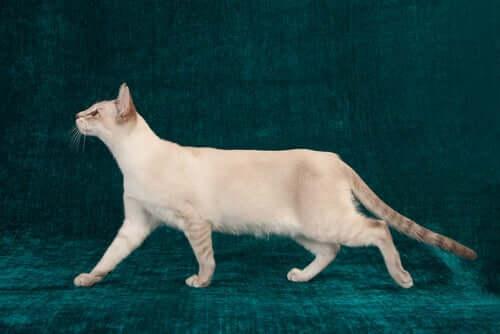 Hüftdysplasie bei Katzen und was du darüber wissen musst