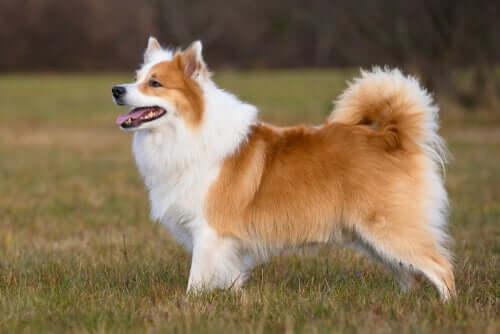 Der Islandhund und sein Verhalten