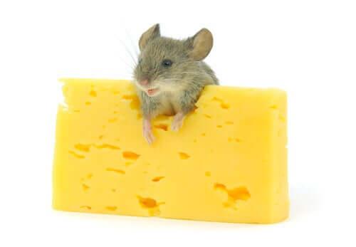 Käse als Leckerbissen für Nagetiere