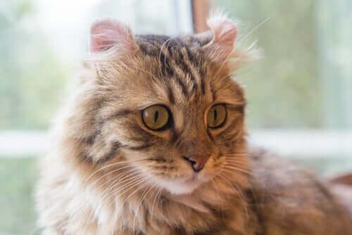 Langhaarige Katzenrassen: American Curl