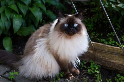 Langhaarige Katzenrassen: Himalayan