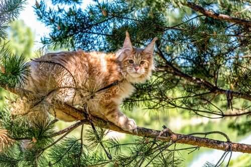 Langhaarige Katzenrassen: Maine Coon