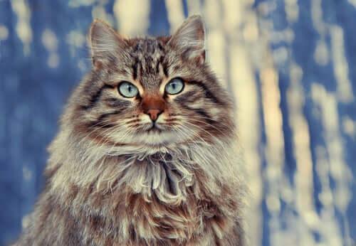 Langhaarige Katzenrassen: Sibirische Katze