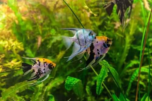 Lebenserwartung von Fischen im Aquarium