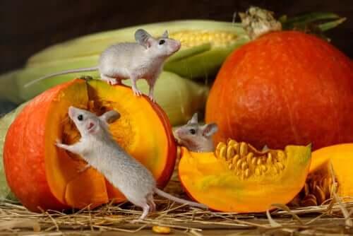 Mäuse lieben Kürbisse