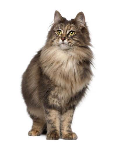 Die norwegische Waldkatze sieht sehr edel aus