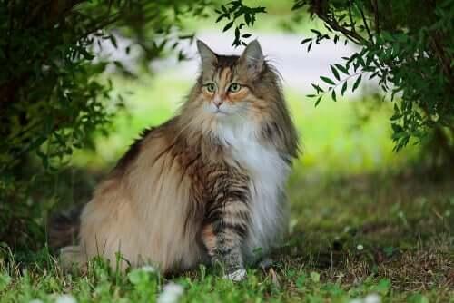 Norwegische Waldkatze, eine eher unbekannte Rasse