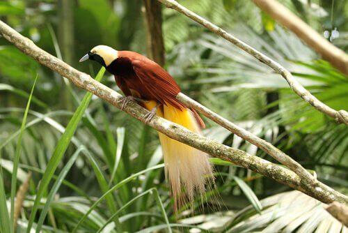 Paradiesvögel: Arten und Eigenschaften