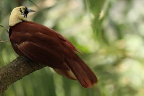Paradiesvögel sind einzigartig