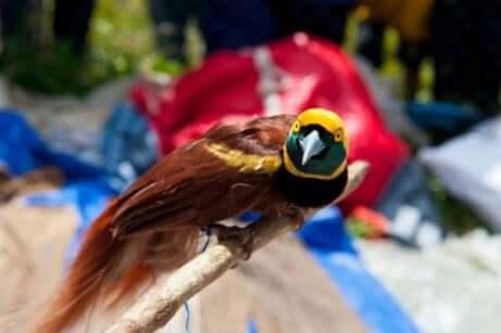 Paradiesvögel