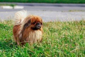 Kleine Hunderassen: Pekingese