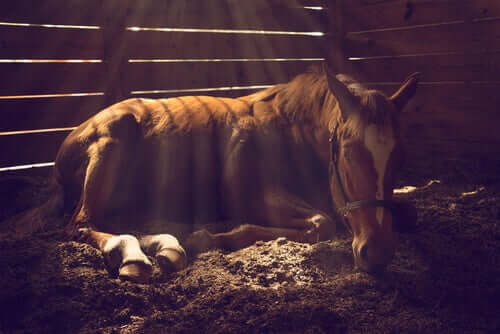 Pferd liegt krank im Stall