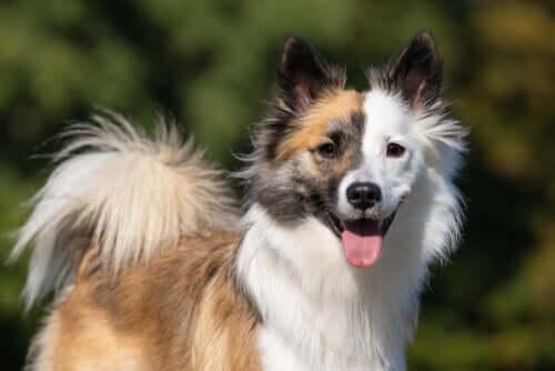 Der Islandhund und seine schönen Fellmarkierungen