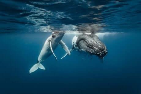 Wanderrouten der Buckelwale