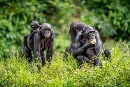 Bonobo-Affen