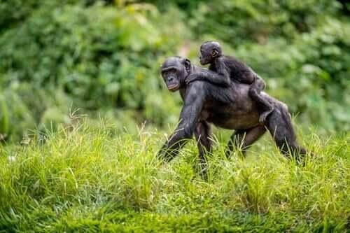 Bonobo-Mütter helfen ihren Söhnen bei der Fortpflanzung