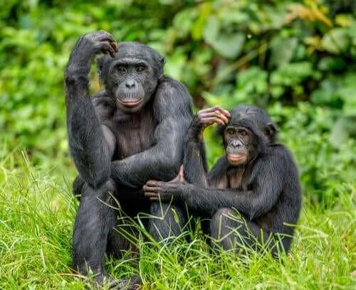 Bonobo-Mutter mit Kind