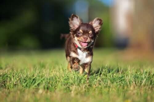 Chihuahuas sind sehr beliebt