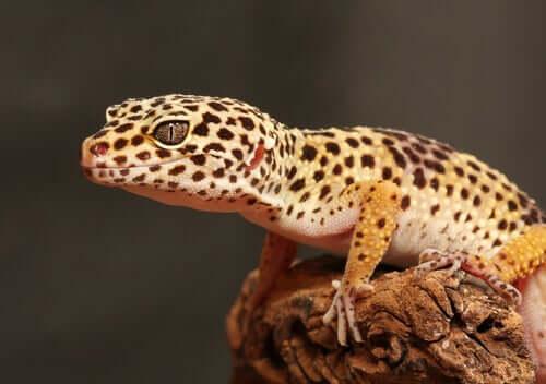 Der Leopardgecko: Zucht und Einrichtung des Terrariums