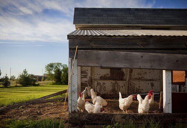 Hühner in der Stadt halten: 8 Tipps