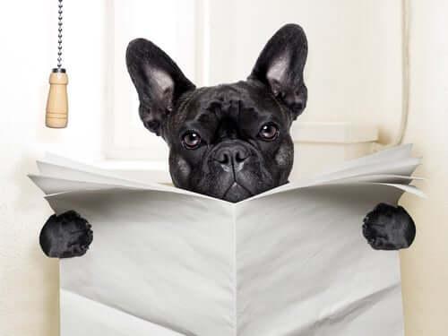 Hund liest die Zeitung auf der Toilette