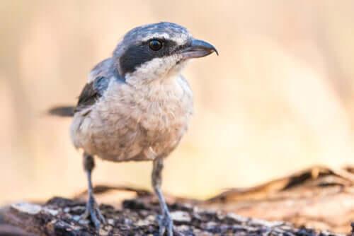 Iberienraubwürger: der Metzgervogel