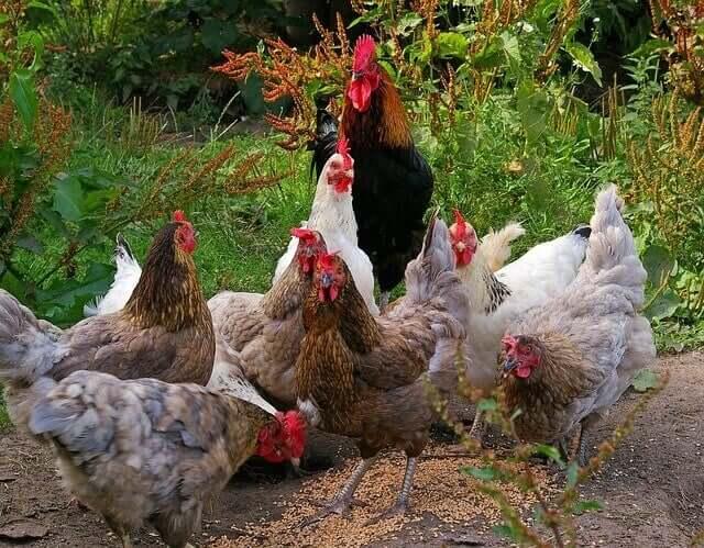 Kann man Hühner in der Stadt halten?