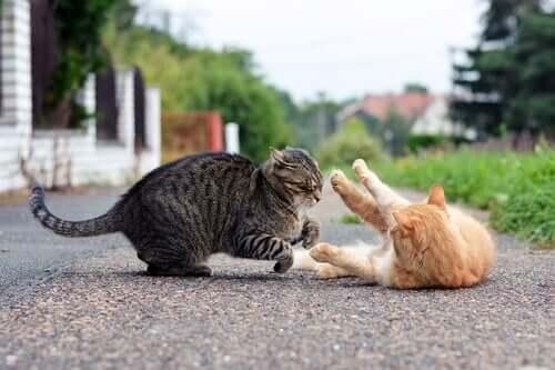 Katzen kämpfen miteinander