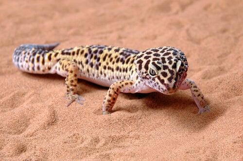 Leopardgecko im Sand