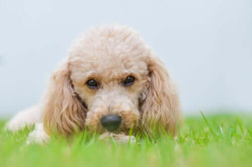 Rassen kleiner Hunde werden die Welt zukünftig dominieren