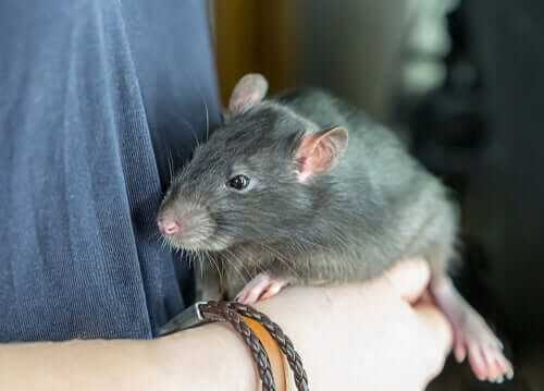 Ratte als Haustier: würdest du dein Leben mit einer teilen?