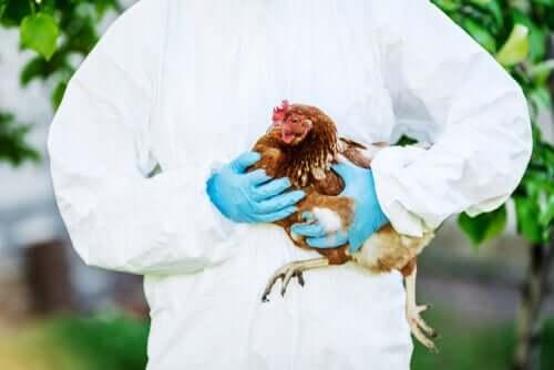 Tierärztliche Betreuung für Hühner in der Stadt