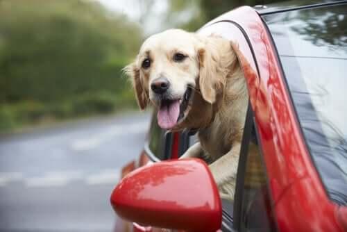 Vorsicht mit dem Hund bei der Autofahrt