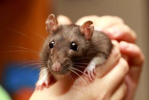 Zahme Ratte als Haustier