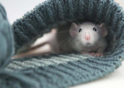Zahme Ratte im Ärmel