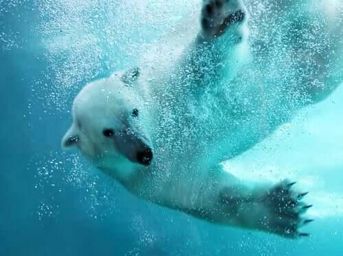 Der Eisbär ist ein hervorragender Schwimmer