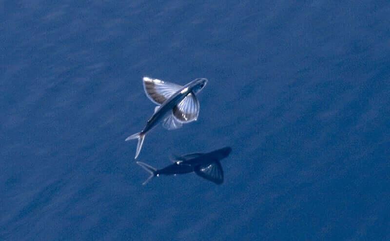 Fischarten: 3 verschiedene fliegende Fische