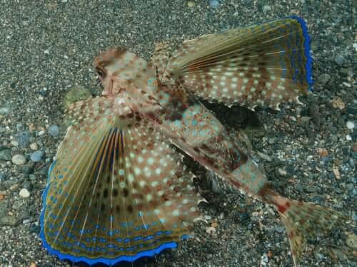 Fliegende Fischarten im Mittelmeerraum