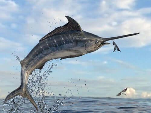 Fliegender Fisch mit schwertartiger Schnauze